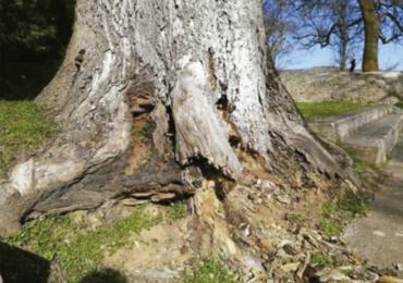 El Ayuntamiento desmiente las afirmaciones efectuadas por ARCA en relación con la tala de dos fresnos